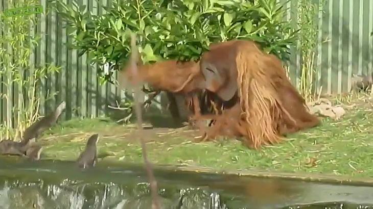 迫りくるカワウソ達を木の棒で追い払いまくるオランウータンの映像。