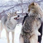 美人なお姉さんとキスする仲間を見てヤキモチを焼くオオカミの映像。