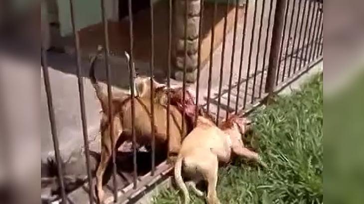 2匹のピットブルに柵越しに噛み殺されてしまった犬の映像。