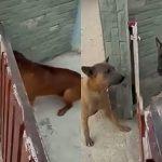 扉1枚を隔てて吠えまくる2匹の犬、扉を開けてもらっても全然喧嘩しない映像。