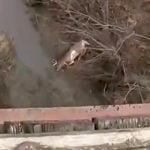 逃げる鹿が陸橋から飛び降り自殺みたいになっちゃった映像。