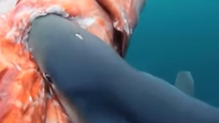 サメがダイオウイカを食べる捕食動画。