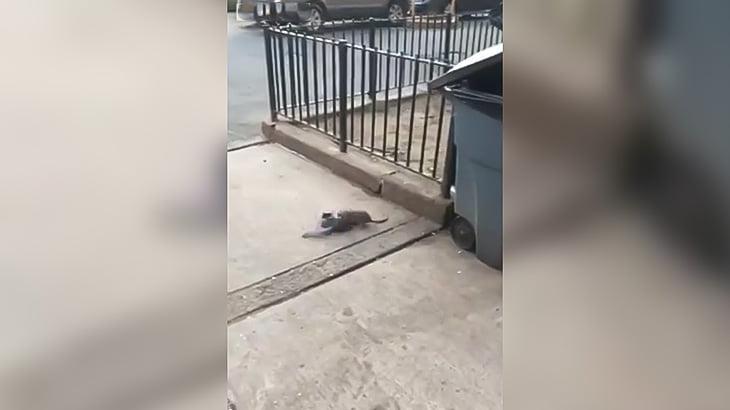 米NY在住のネズミがハトを食べようとする映像。