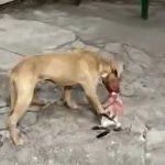 【閲覧注意】噛み殺した猫の頭を食べようとする犬の映像。