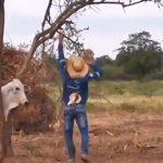 木の間に挟まり動けなくなったところを助けてくれた恩を仇で返す牛の映像