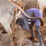 牛のオシッコで頭を洗う男の映像