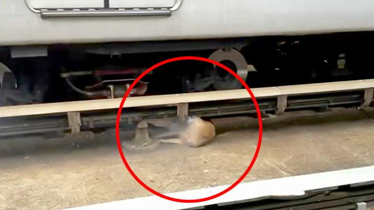 【微閲覧注意】線路に侵入したシカさん、感電死してしまう・・・