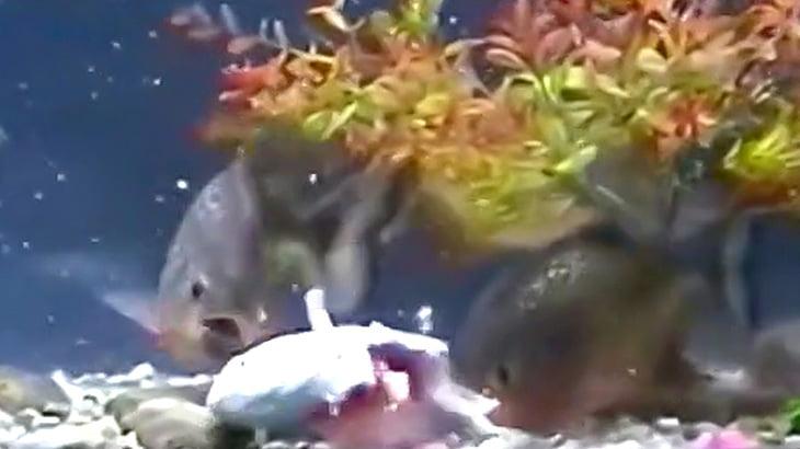 ピラニアが10匹入った水槽に放り投げられた別種の魚が食い尽くされる映像。