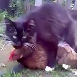 【動画】ネコさん、ニワトリをレイプしてしまう・・・
