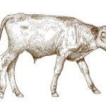 【微閲覧注意】顔が2つある子牛が撮影される(動画)