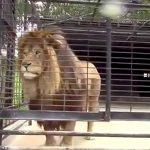 ライオン撮影中のまさかのハプニング映像